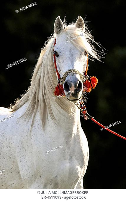White Arabian stallion, portrait with traditional decorated halter