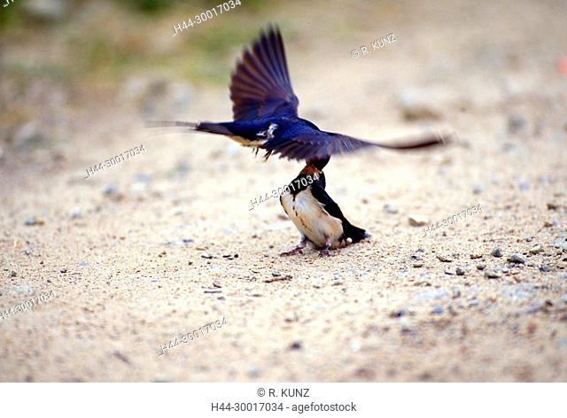 Barn Swallow, Hirundo rustica, Hirundinidae, Swallow, fledling juvenile, adult, feeding in flight, bird, animal, Holsteinische Schweiz, Germany