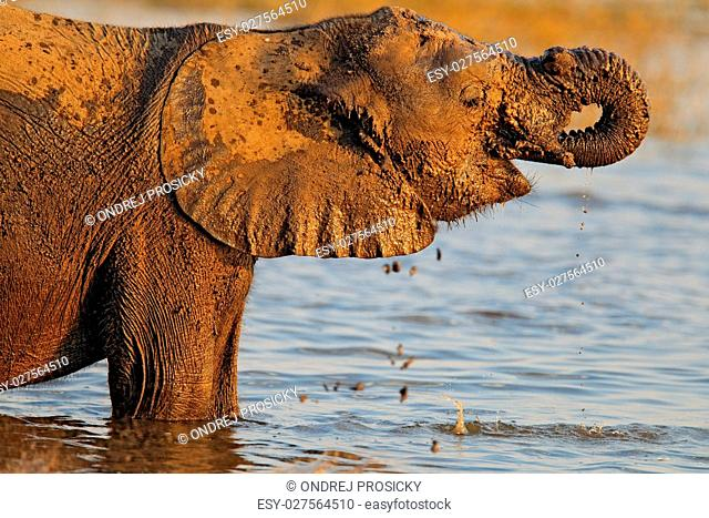 African elephant drinking at a waterhole, Chobe National park,Botswana