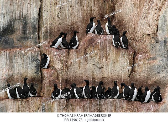 Bird colony, Thick-billed Murres or Bruennich's Guillemots (Uria lomvia), rocks, Svalbard, Spitsbergen, Norway