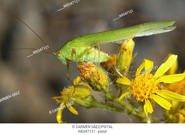 Long-horned Grasshopper (fam. Tettigoniidae)