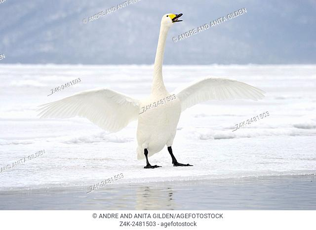 Whooper Swan (Cygnus cygnus) standing on frozen Lake with wings spreaded, Lake Kussharo, Akan National Park, Hokkaido, Japan.