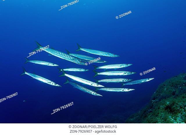 Sphyraena sphyraena, Mittelmeer oder Europaeischer Barrakuda, European Barracuda, Gozo, Malta, Sued Europa, Mittelmeer, Mare Mediterraneum, South Europe