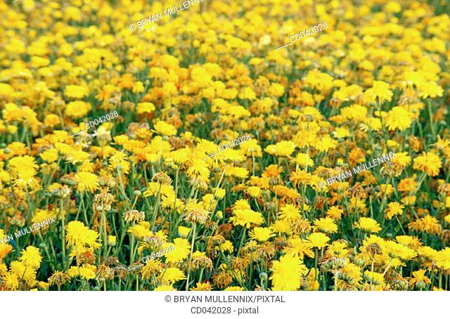 Flower crop grown for seed