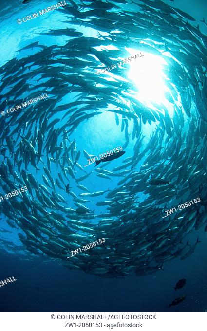 School of Bigeye Trevally (Caranx sexfasciatus) forming tornado at USAT Liberty ship (US Army transport ship torpedoed by Japanese in WWII) at Tulamben at...