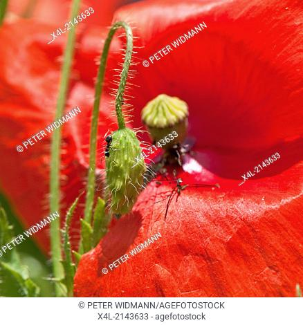 red poppy, Austria
