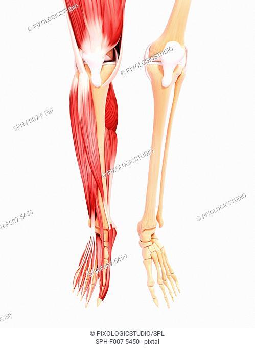 Human leg musculature, computer artwork