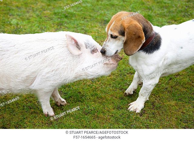 Miniature domestic pig with Basset Hound friend