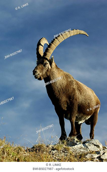 alpine ibex (Capra ibex, Capra ibex ibex), alpine ibex stands on rock spurs, Switzerland