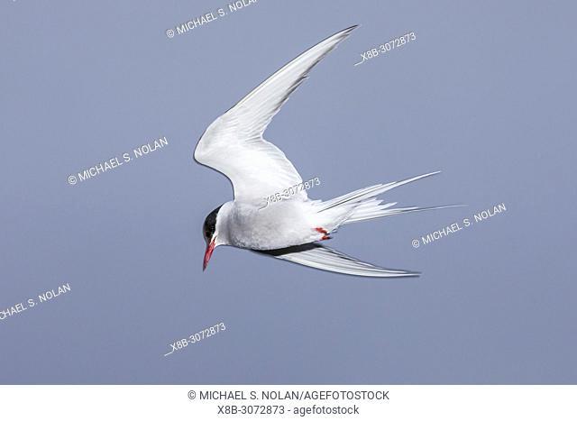 An adult Arctic tern, Sterna paradisaea, in flight on Grimsey Island, north coast of Iceland