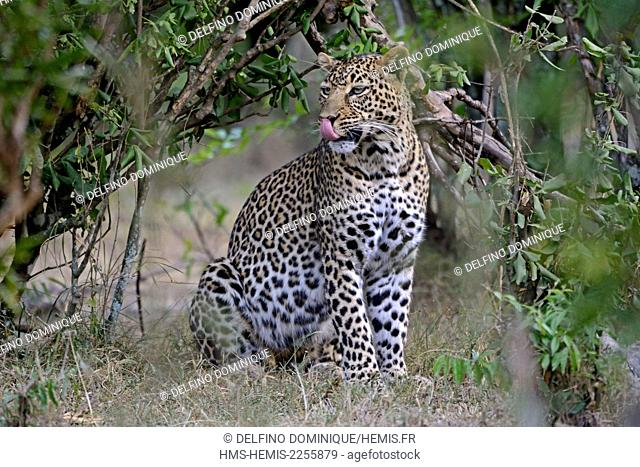 Kenya, Masai Mara Reserve, Leopard (Panthera pardus), female on the lookout in the forest