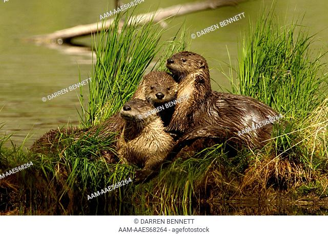 Northern River Otter (Lutra canadensis) Yellowstone N.P. Wyoming Young otter on Trout Lake Darren Bennett Photo