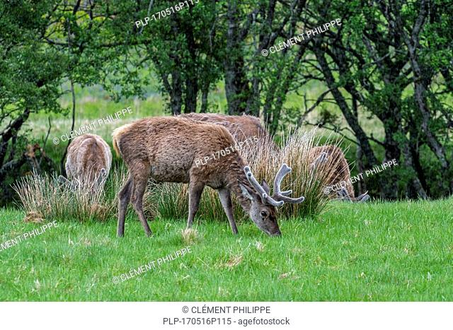 Red deer (Cervus elaphus) stags with antlers covered in velvet grazing in grassland in the rain in the Scottish Highlands in spring, Scotland, UK