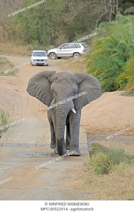 African Elephant (Loxodonta africana) walking down road, Hluhluwe-Umfolozi Game Reserve, South Africa