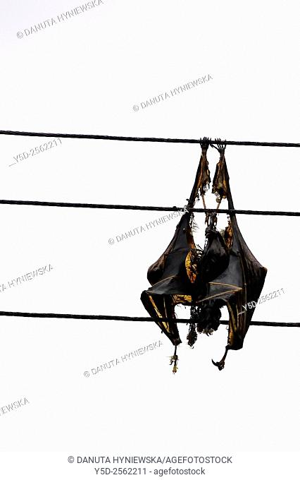 Friendly fruit bat died from burning on electric high voltage cables, Africa, Mauritius, Black River Gorge National Park