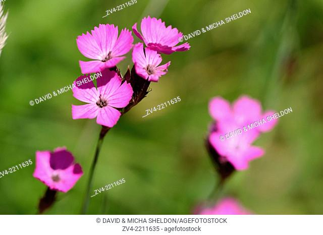 Close-up of sticky catchfly (Silene viscaria) blossom in a meadow in spring
