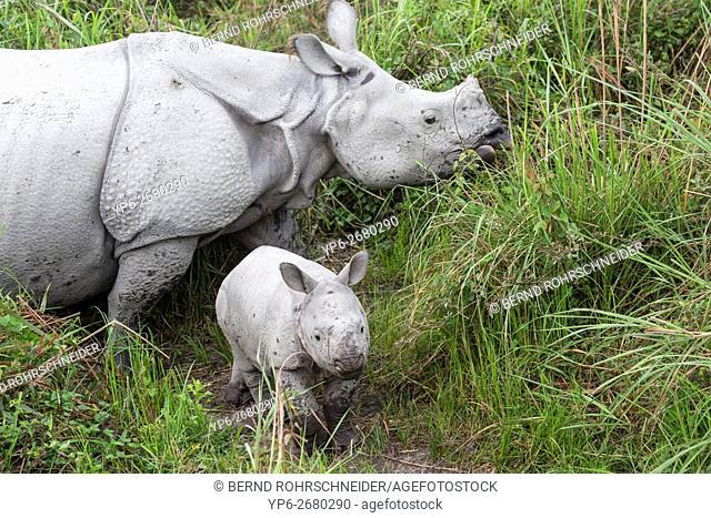 Indian rhinoceros (Rhinoceros unicornis), female with young standing in elephant grass, threatened species, Kaziranga National Park, Assam, India