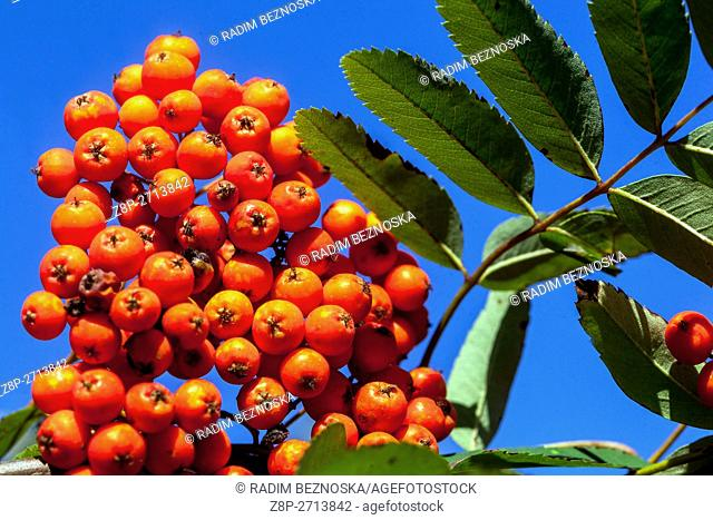 Sorbus aucuparia, commonly called rowan and mountain-ash