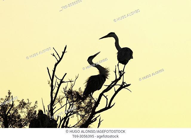 Pair of Grey heron (Ardea cinerea). Camargue. France
