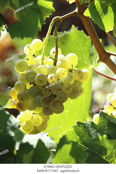 grape, malvazija istarska, malvasia