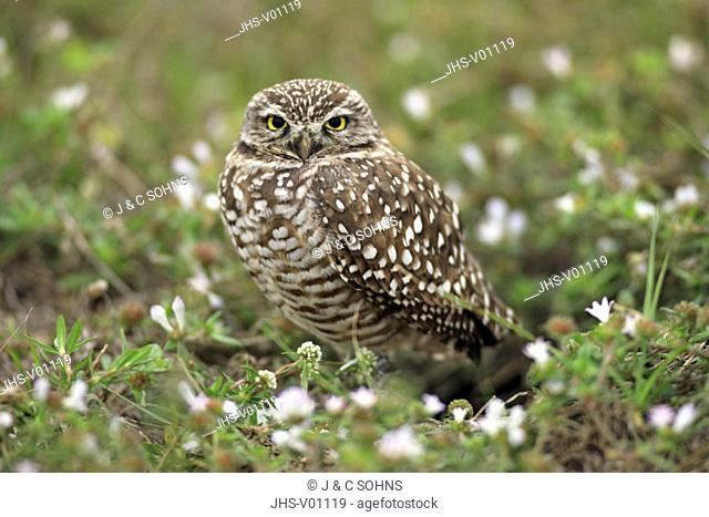 Burrowing Owl, Athene cunicularia, Cape Coral, Florida, USA, adult at breeding cave