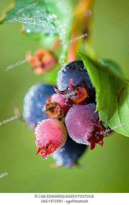 Wild berries, Lake Alice, Wyoming, USA