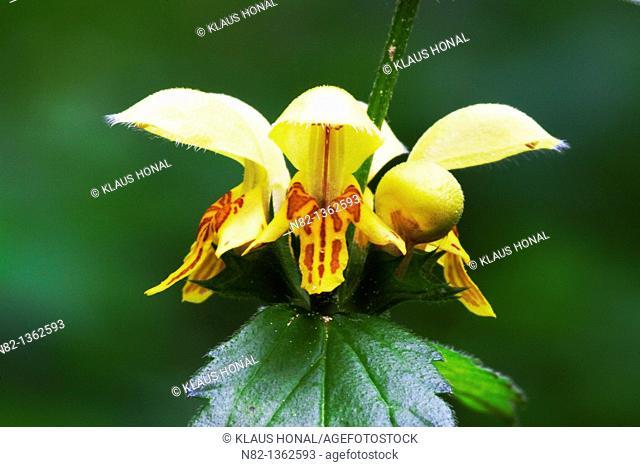 Yellow Archangel Lamiastrum galeobdolon blossoms in Naturpark Altmuehltal - Bavaria/Germany