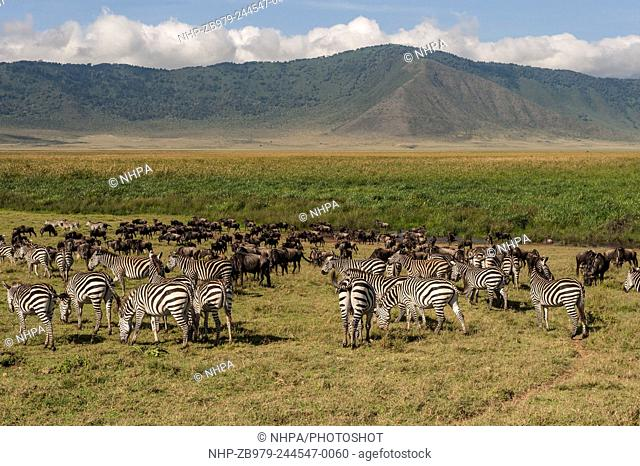 Zebra & Wildebeest (Equus burchelli & Connochaetes taurinus) are often fond in each other's company ; Ngorongoro Crater, Tanzania