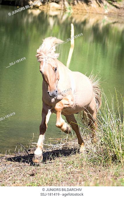 Norwegian Fjord Horse galloping next to a lake. Italy
