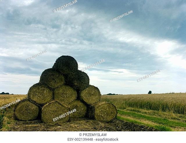 Green grain not ready for harvest growing in a farm field