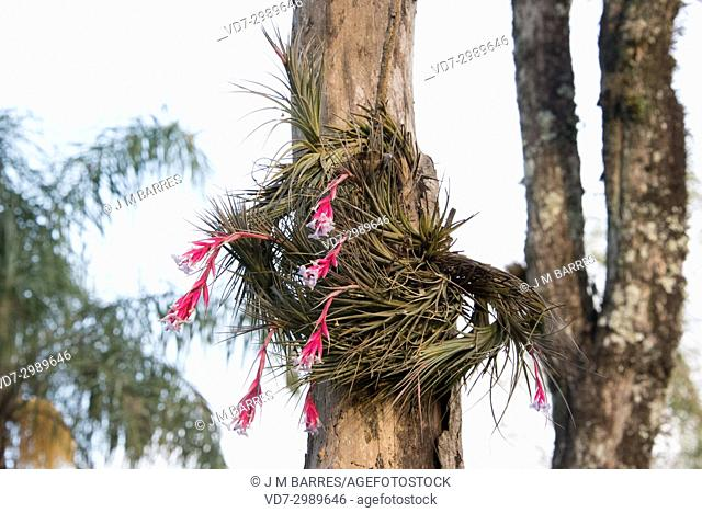 Narrowleaf airplant (Tillandsia tenuifolia) is an epiphyte herb native to South America and Caribbean Islands. This photo was taken in Iguazu Falls National...