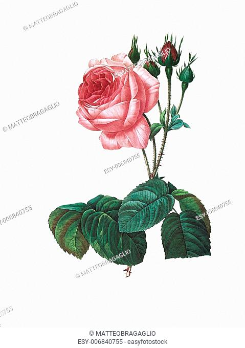 Antique illustration of a rosa centifolia bullata engraved by Pierre-Joseph Redoute (1759 - 1840), nicknamed The Raphael of flowers