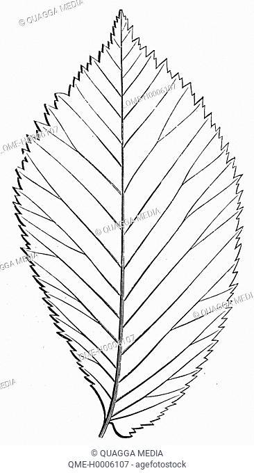 Elm: Leaf