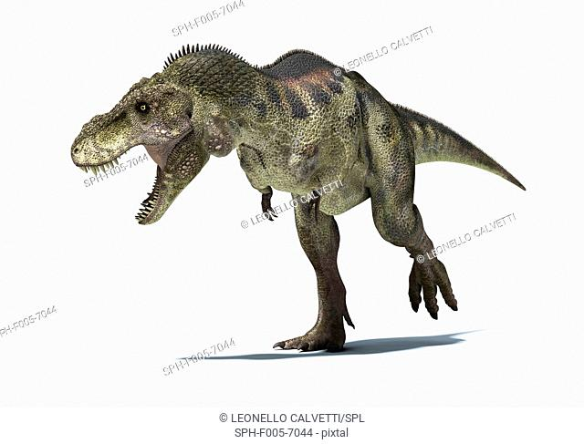Tyrannosaurus rex dinosaur, artwork. T.rex was one of the largest carnivorous dinosaurs, measuring 5 metres tall and weighing 7 tonnes