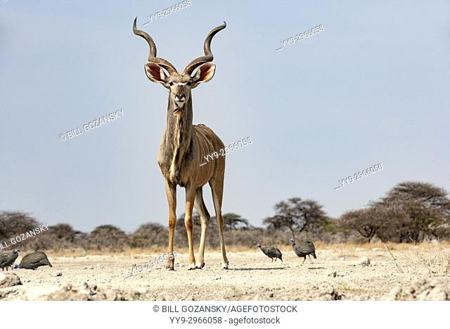 Male Greater kudu (Tragelaphus strepsiceros) at Onkolo Hide, Onguma Game Reserve, Namibia, Africa