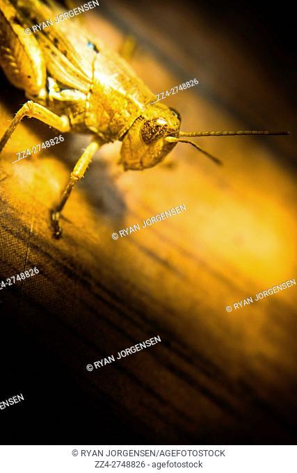 Grasshopper wildlife bug macro under shining bright yellow light. Bugs up close