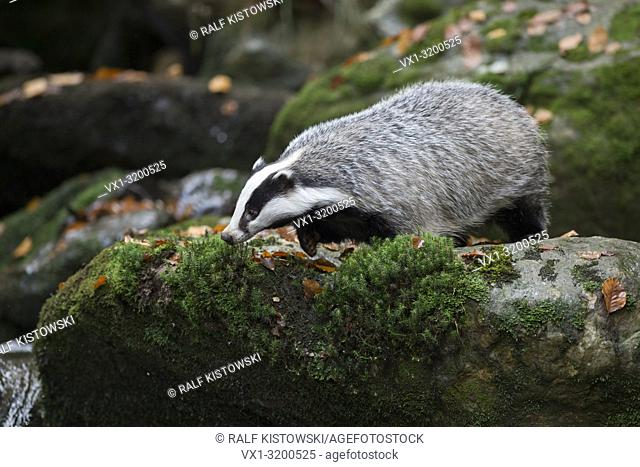 European Badger ( Meles meles ), adult animal, strolling along a wild creek, standing on a rock, watching down