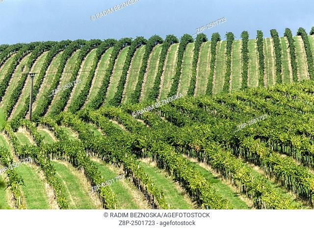 Vineyards in Wine Region Palava, South Moravia, near Mikulov, Czech Republic, Europe