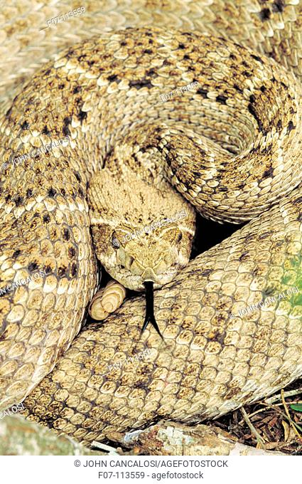 Western Diamond Rattlesnake (Crotalus atrox). Texas. USA