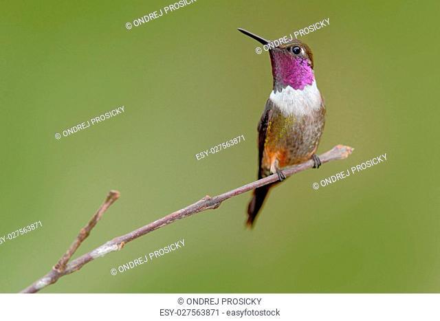 Hummingbird,Purple-throated Woodstar, Calliphlox mitchellii