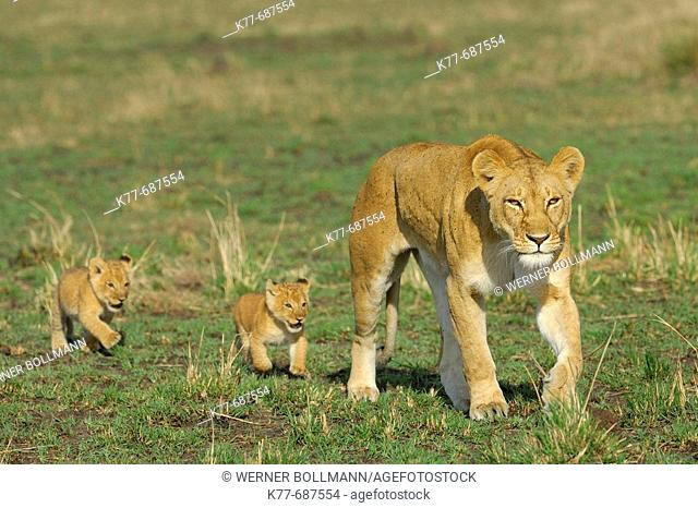 Lioness (Panthera leo) with cubs. Massai Mara, Kenya