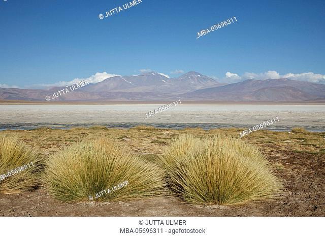 Chile, national park Nevado Tres Cruzes, Laguna Santa Rose, Ischu grass