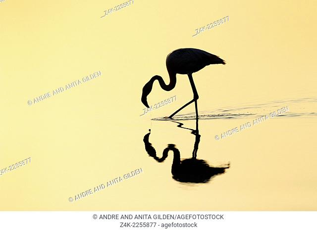 Silhouette of a Greater Flamingo (Phoenicopterus roseus) foraging in the water