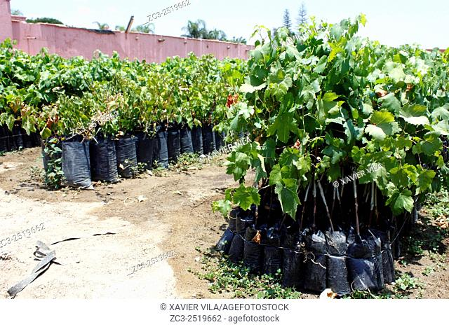 Vines before planting. In the decade of the 1540 s Francisco de Carabantes created The Tacama Vineyard, which is the oldest in Peru