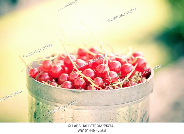 Red currants in close up. Fresh berries harvested in garden. Summer gardening