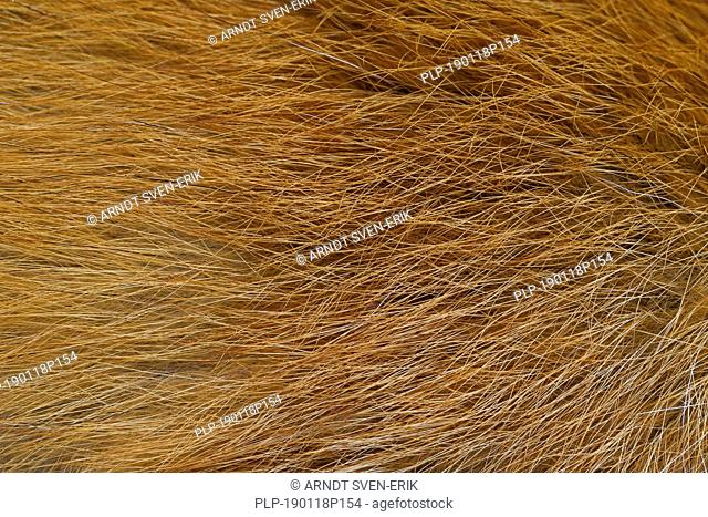 Red fox (Vulpes vulpes) close-up of the guard hairs in dense coat / fur