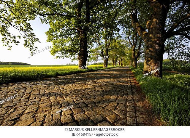 Oak alley (Quercus robur) with cobblestones between Putbus and Bergen, Ruegen island, Mecklenburg-Western Pomerania, Germany, Europe