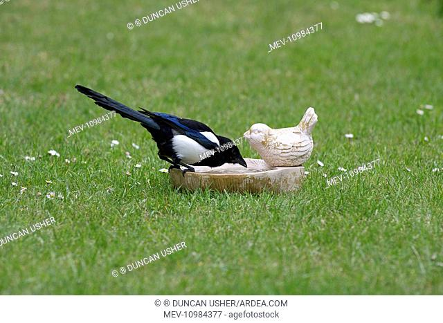 Common Magpie - drinking from birdbath on lawn Island of Texel, Holland, Europe (Pica pica)