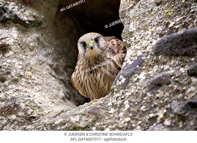 European Kestrel, Common Krestel, (Falco tinnunculus), adult in breeding burrow, Pelm, Kasselburg, Eifel, Germany, Europe