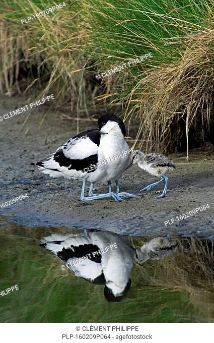 Two pied avocet chicks (Recurvirostra avosetta) hiding under parent's feathers for warmth